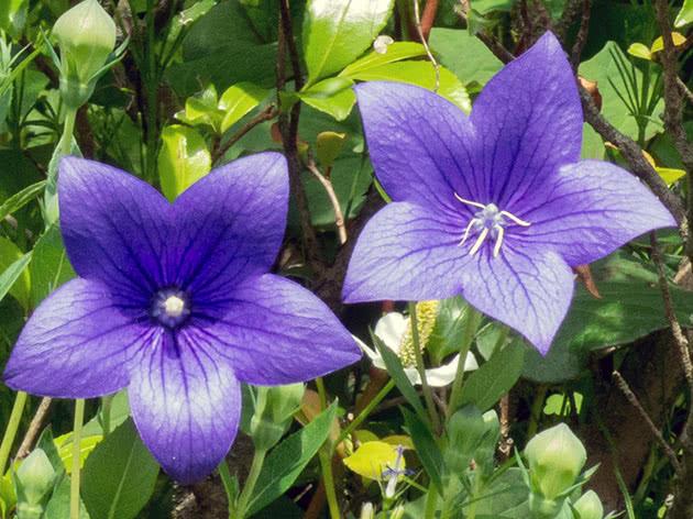 Цветы платикодон