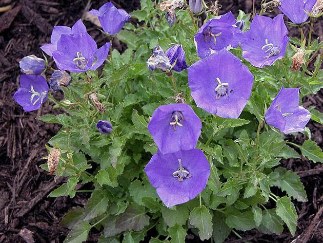 Цветение платикодона в саду