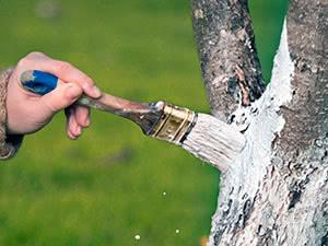 Побілка дерев навесні