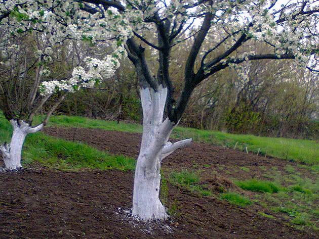 Когда белить деревья в саду весной