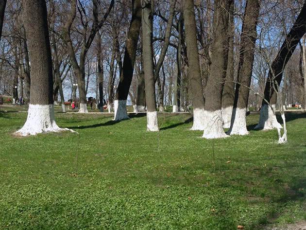 Чем белить деревья в саду весной