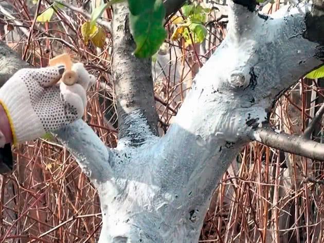 Как правильно белить плодовые деревья весной