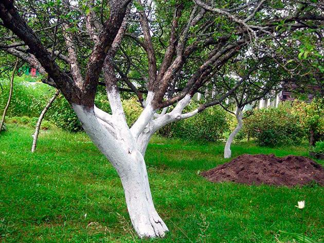 Весенняя побелка деревьев в саду