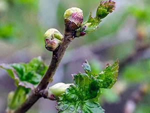 Бруньковий кліщ – як боротися на городі