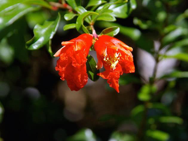 Цвітіння кімнатного граната