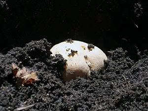 Посадка картофеля клубнями весной