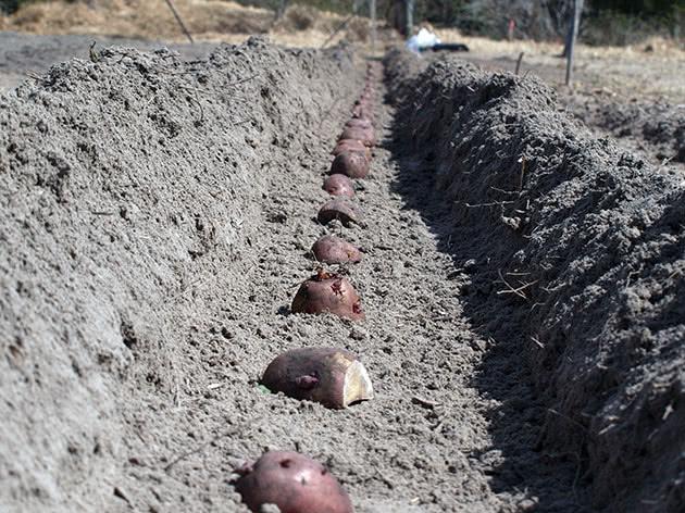 Посадка картофеля траншейным методом