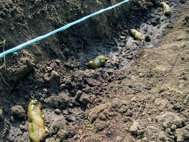 Когда сажать картофеля весной