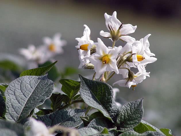Цветение картофеля на участке