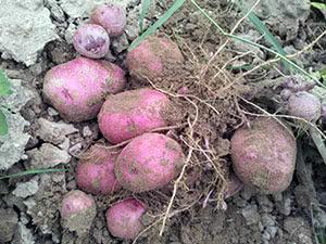 Рослина картопля