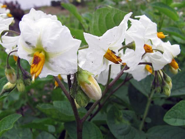 Цветение кустов картофеля