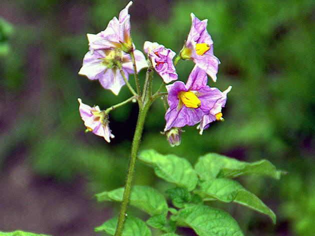 Цвітіння картоплі на городі