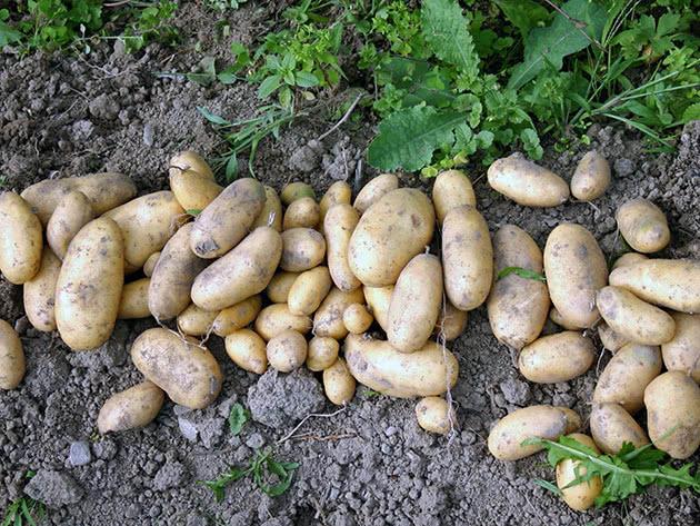 Выбранный картофель на участке