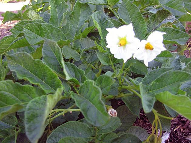 Как цветет картофель в саду