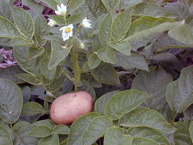 Куст картофеля и картошка