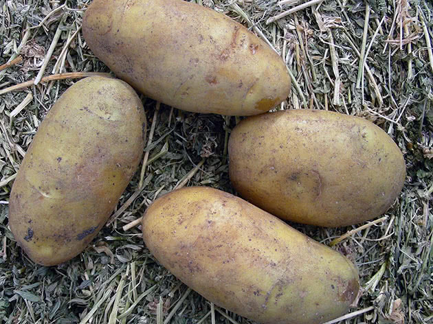 Крупный картофель после сбора урожая