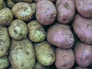 Растение картофель – предпосадочная обработка