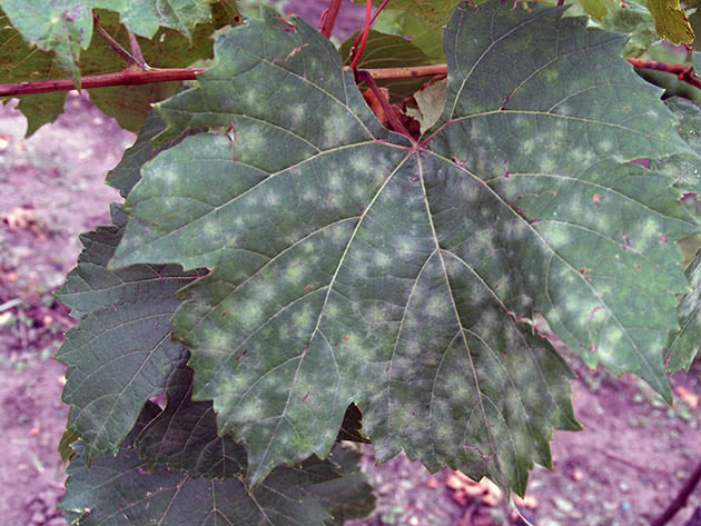 Крапки на листі – борошниста роса