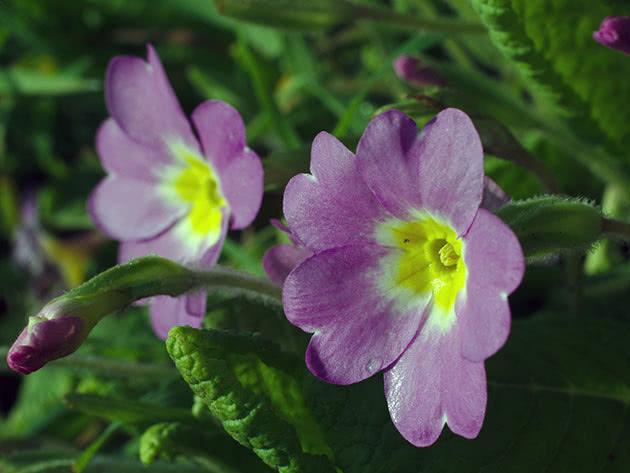 Цветок примула или первоцвет