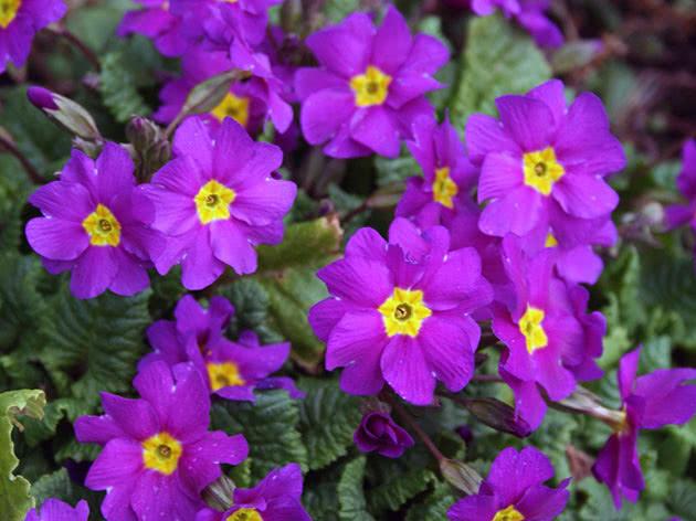 Фиолетовая примула или первоцвет