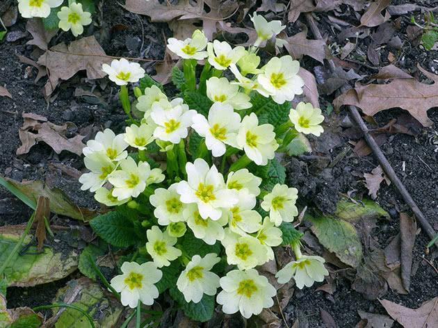 Примула бесстебельная, или обыкновенная / Primula vulgaris