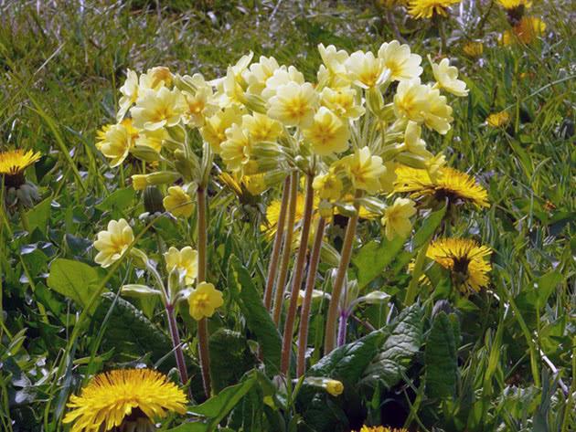 Примула высокая / Primula elatior