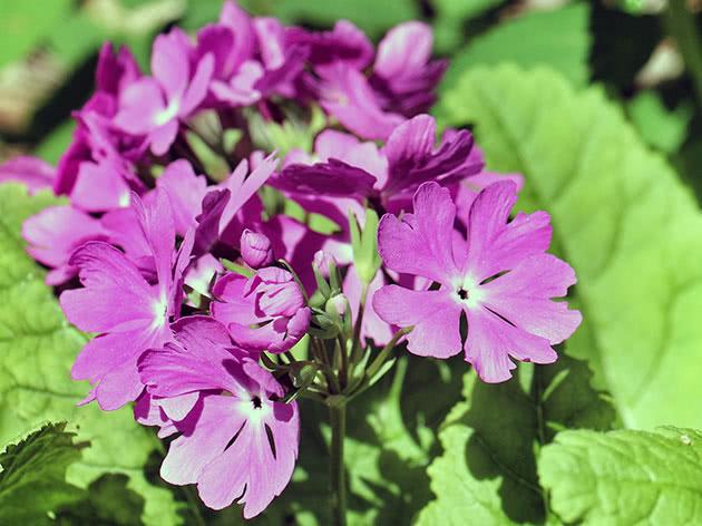 Примула Зибольда / Primula sieboldii
