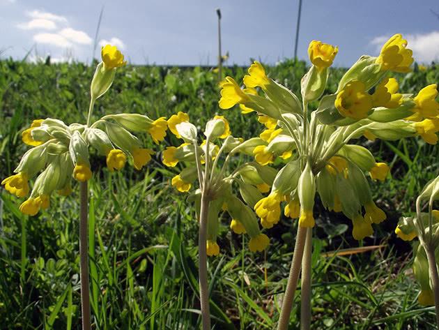 Примула весенняя / Primula veris