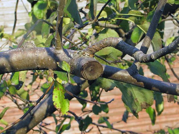 Як обрізувати дерева в саду навесні й узимку