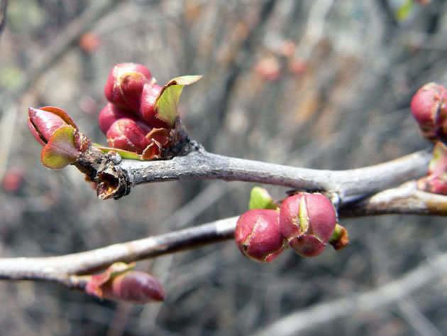 Листові бруньки на дереві айва