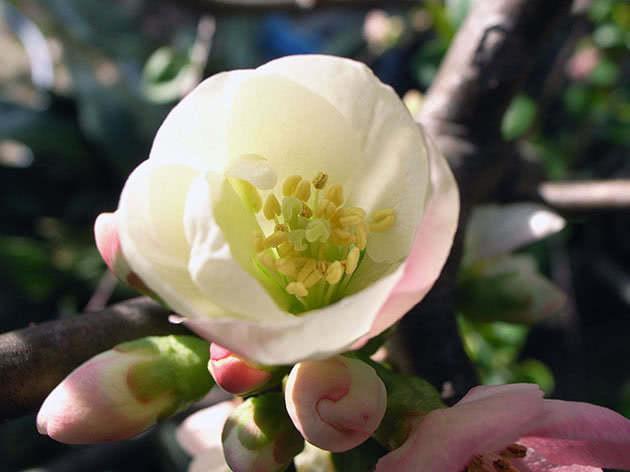 Цвітіння айви в саду