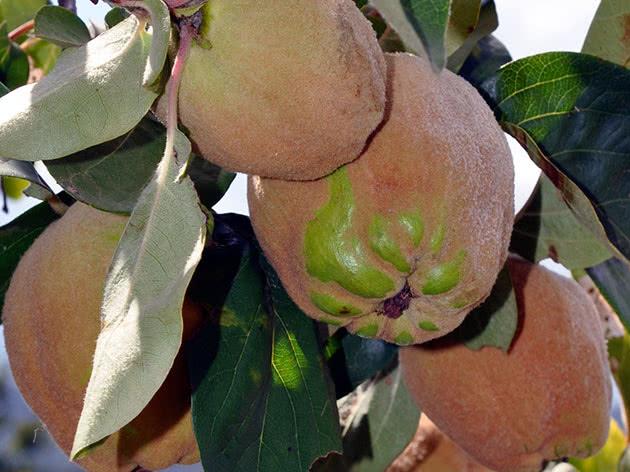 Плодоношення айви в саду