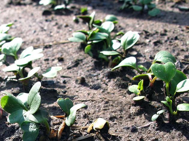 Вирощування редису на ділянці