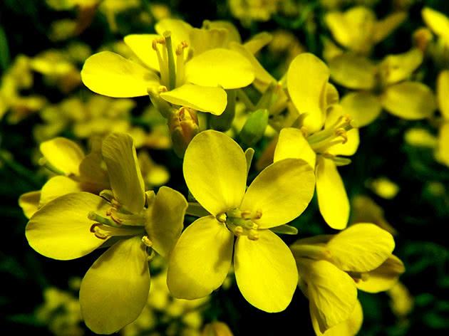 Цвітіння ріпи
