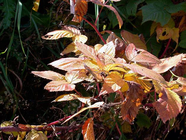 Посадка малини під зиму восени