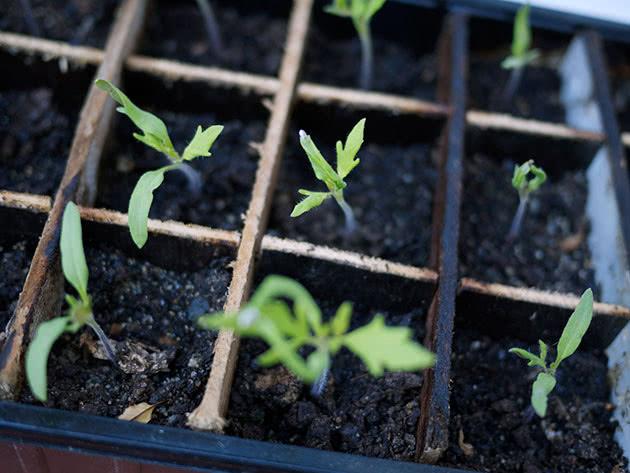 Посадка и уход за рассадой овощей дома