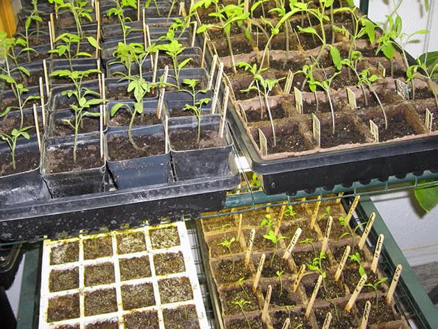Как вырастить рассаду овощей дома