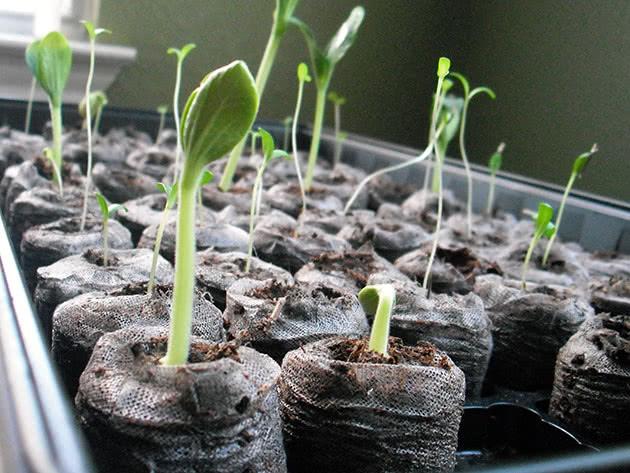 Как правильно вырастить рассаду цветов дома