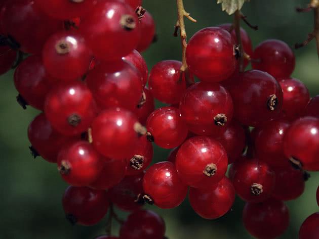 Гроздья красной смородины