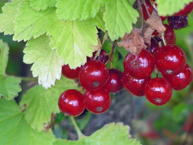 Как посадить и ухаживать за красной смородиной