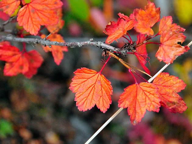 Листья красной смородины