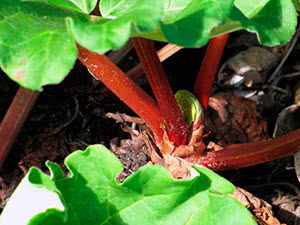 Выращивание ревеня в саду