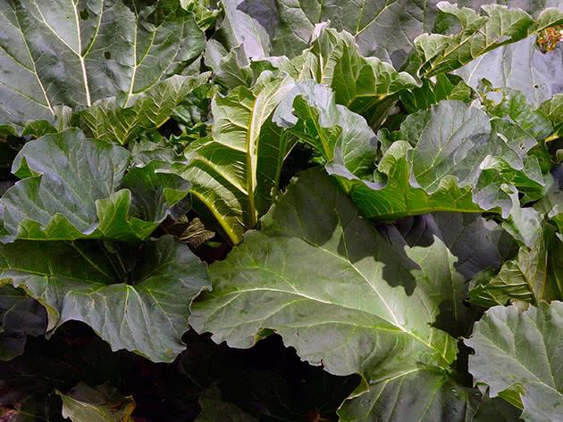 Вирощування ревеню з насіння