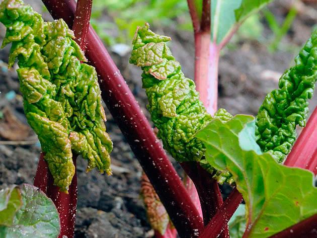 Умови вирощування ревеню в саду