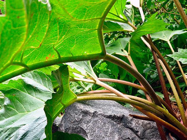 Ревінь тангутський (Rheum tanguticum)