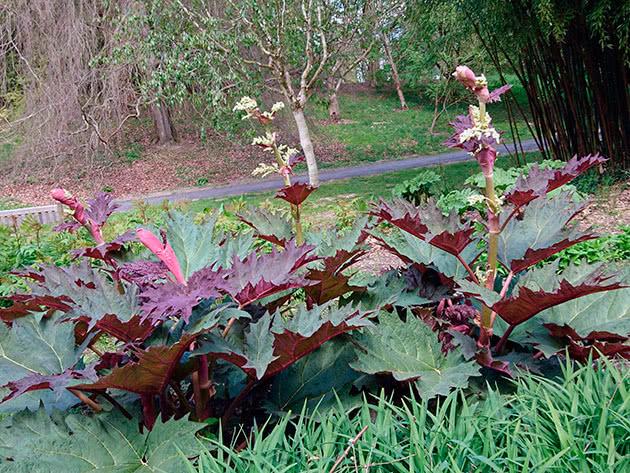 Ревінь пальчастий (Rheum palmatum)