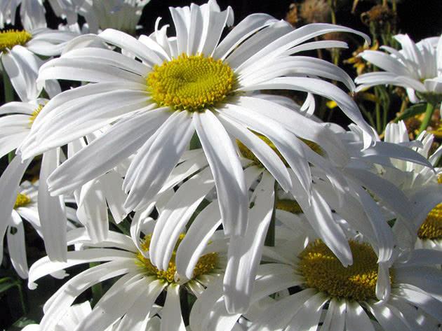 Ромен найбільший (Leucanthemum maximum)