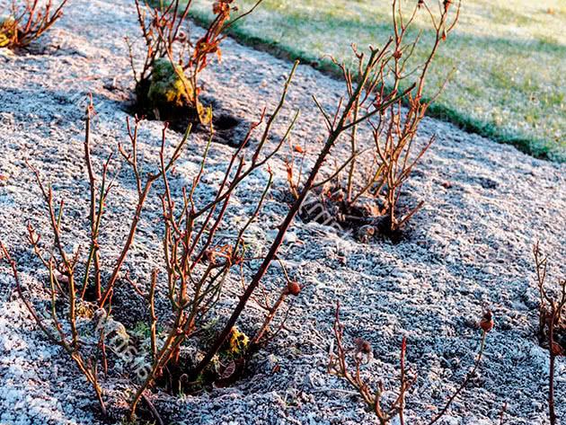 Підготовка троянд до зимівлі восени