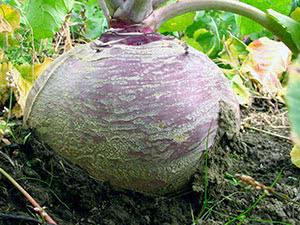 Рослина бруква