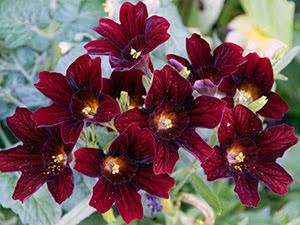 Вирощування квітки сальпіглосиса в саду